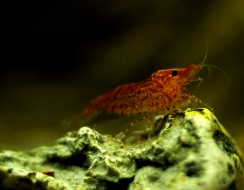 441 foto  Caridina red christal