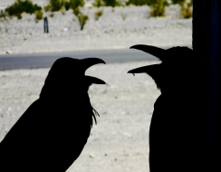 foto  Talking crows