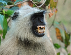 9265 foto  Angry langur