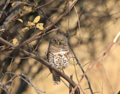 3861 foto  African barred owlet