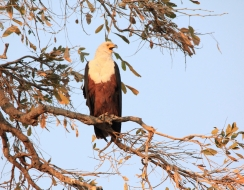 3881 foto  African fish eagle