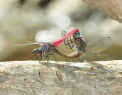 foto  Dragonflies in love