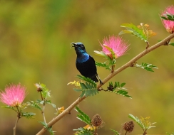 10753 foto  Indian purple sunbird